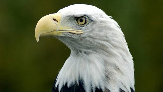 Bald Eagle file photo (CBS News)