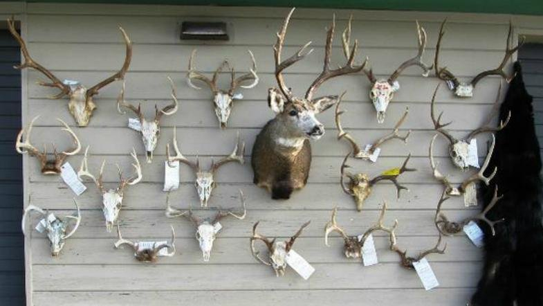 Illegally harvested game mounts displayed