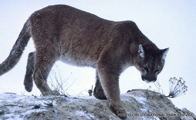 Mountain Lion file photo