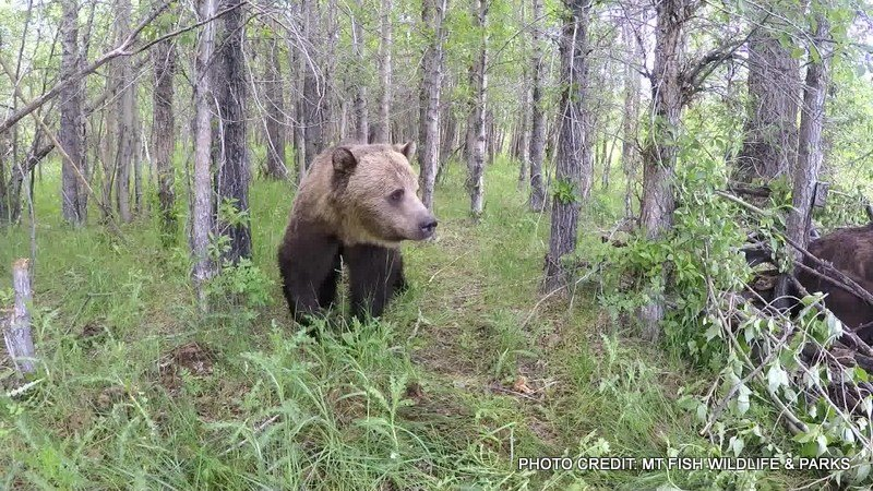 Grizzly bears heading east from the rocky mountain front for Fish wildlife and parks