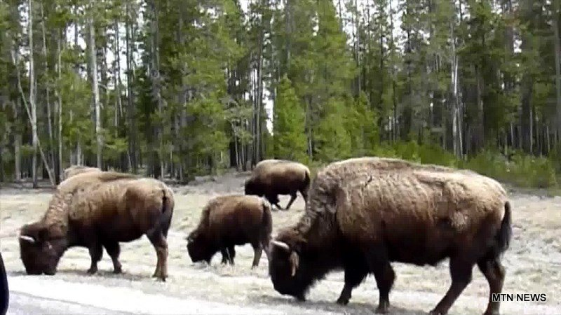 Eqc supports tribal hunting of bison in yellowstone for Bison motors great falls mt